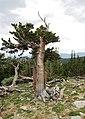 Rocky Mountains Bristlecone Pine, Mount Goliath, Colorado (1).jpg