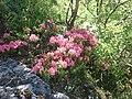 Rododendri ai piedi del sasso lungo - panoramio.jpg