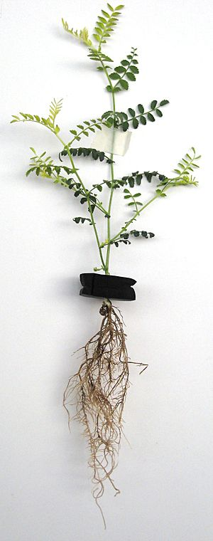 Root rot - Chickpea plant (Cicer arietinum) with root rot. Note the symptomatic discolouration in some of its leaves.