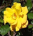Rosa-goldmarie.jpg