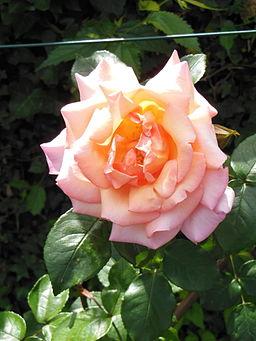 RosaCultivarCompassion-RosetoRoma