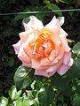RosaCultivarCompassion-RosetoRoma.JPG