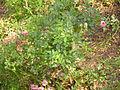 Rosa 'Easy Cover' Poulsen 1996 RPO1.jpg