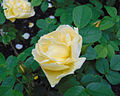 Rosa 'Yellow Dagmar Hastrup'.jpg