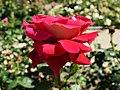 "Rosa ""Flaming Peace"", ""Kronenbourg"" o MACbo. 01.jpg"