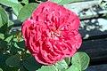 Rosa Benjamin Britten 2zz.jpg
