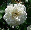 Rosa Lace Cascade 1.jpg