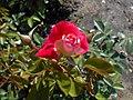 Rosa Piccadilly 2018-07-16 6533.jpg