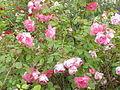 Rosa sp.65.jpg