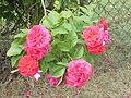 Rosa x gallica0.jpg