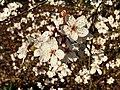 Rosales - Prunus cerasifera - 7.jpg