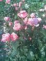 Rosales - Rosa cultivars 10 - 2011.07.11.jpg