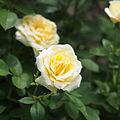 Rose, Christmas Bell, バラ, クリスマスベル, (9450298101).jpg