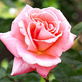 Rose, Sonia, バラ, ソニア, (14694996152).jpg