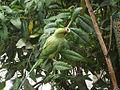 Rose-ringed Parakeet in the garden.jpg