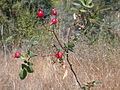 Rose hips by roadside scotts valley.JPG