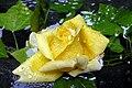 Rose jaune .jpg