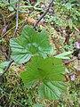 Rubus chamaemorus 3-eheep (5097966450).jpg
