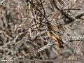 Rufous-backed Redstart (Phoenicurus erythronotus) (31520139320).jpg