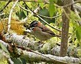 Rufous-collared Sparrow Zonotrichia capensis - Flickr - gailhampshire.jpg
