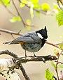 Rufous-naped Tit (Periparus rufonuchalis) (35715022591).jpg