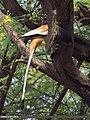 Rufous Treepie (Dendrocitta vagabunda) (15708239067).jpg