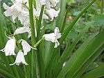 Ruhland, Grenzstr. 3, Spanisches Hasenglöckchen, weiß blühend, Frühling, 04.jpg