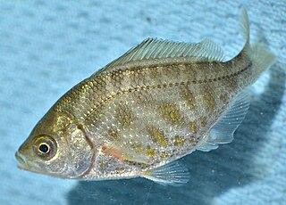 Tule perch Species of fish