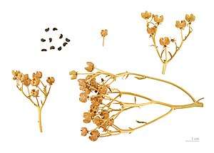 Ruta graveolens - Capsule and seed - MHNT