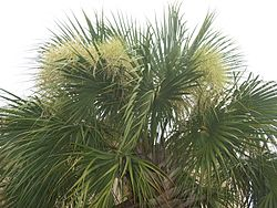 Sabal palmetto