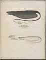 Saccopharynx flagellum - 1700-1880 - Print - Iconographia Zoologica - Special Collections University of Amsterdam - UBA01 IZ15200001.tif