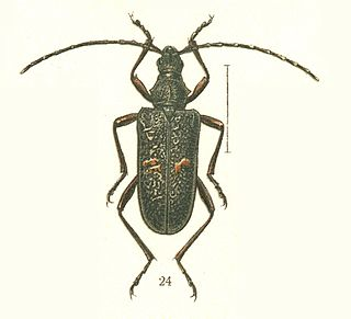 <i>Sachalinobia</i> genus of insects