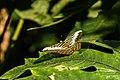 Sadat Butterfly.jpg