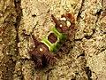Saddleback Caterpillar (37276646046).jpg