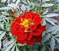 Safari marigold (red) 05.jpg