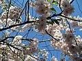 Saint Petersburg. Chinese Garden. Sakura tree2019 02.jpg