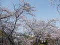 Sakura at Minami Park 01.jpg