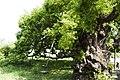 Salix koreensis 2.jpg