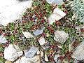 Salix rotundifolia-MW0158296-live-1.jpg