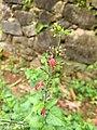 Salvia coccinea-, scarlet sage.jpg