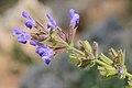 Salvia rubifolia 2.jpg