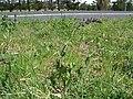 Salvia verbenaca plant5 ST (15936471540).jpg