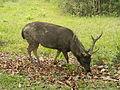 Sambar deer (Rusa unicolor) (16209992136).jpg