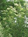 Sambucus nigra Laciniata.jpg