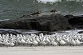 Sanderlings and ruddy turnstones (6203370521).jpg