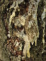 Sap on pine tree bark.jpg