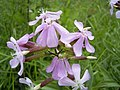 Saponaria-officinalis-flower.jpg