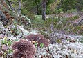 Sarcodon squamosus - Eva Weme (Norway) 1.jpg