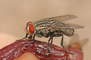Scavenger - Sarcophaga nodosa, a species of flesh fly feeding on decaying meat.