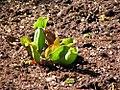 Sarracenia purpurea 5zz.jpg